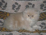 Продается котёнок Перс