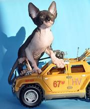 Продается котенок канадского сфинкса